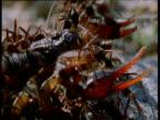 Army ants swarm over helpless scorpion, Trinidad