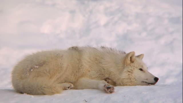 Artic Wolf relaxing (DVCPRO-HD)