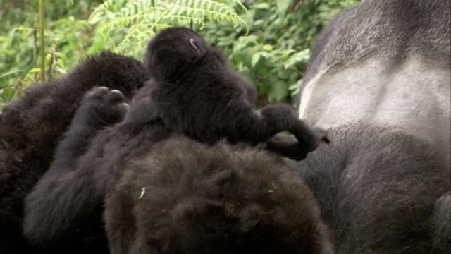 As a silverback mountain gorilla mates, a juvenile gorilla puts its feet on the silverback. Available in HD.
