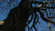 T/L Ash (Fraxinus sp.) tree and branch shadows against sky, UK