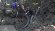 Ashely Lemke a researcher from the University of Michigan adds zip ties to the tusk of a mammoth skeleton to stabilize it as it will be lifted from a...