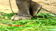 Asia elephant's foot chained