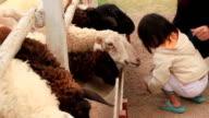 Asia girl feeding sheep in a field.