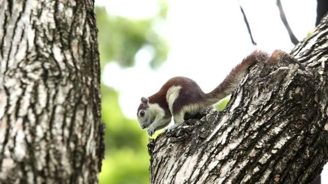 Asia squirrel eating bread