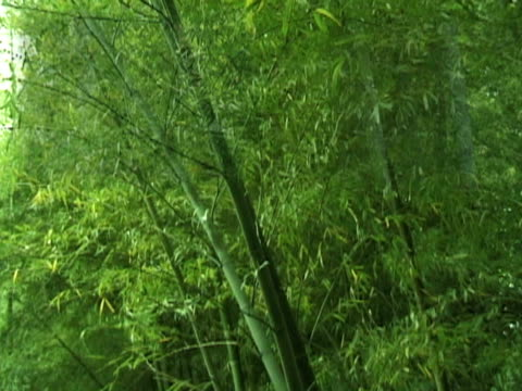 Asian Bamboo Forest in Wind Layers