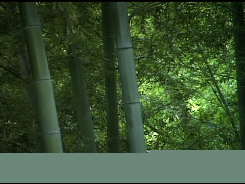 Asian Bamboo Forest in Wind
