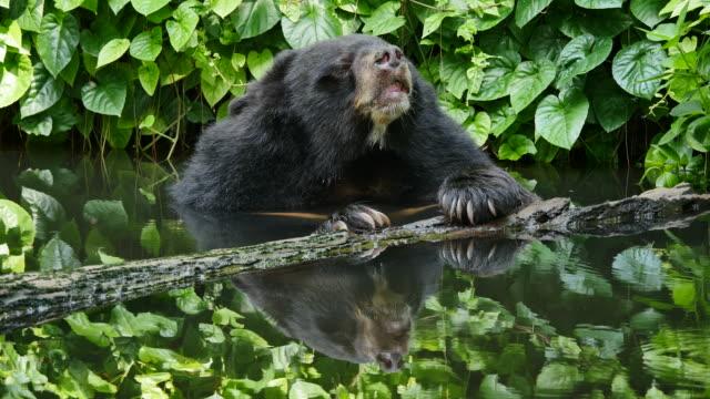Asian black bear relax in pond.