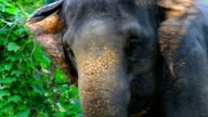 Asian Elephant eating grass