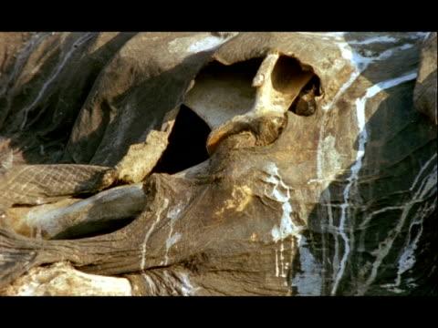 Asian Elephant, Elephas maximus, corpse, skin and bone on ground, zoom out, Nagarahole National Park, India