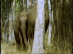 MS Asian Elephant, Elephas maximus, moving amongst trees, Western Ghats, India