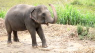 HD: Asian elephants Thailand