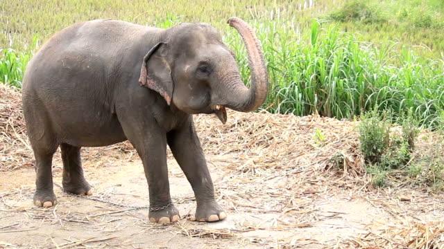HD: Elefante asiatico, Tailandia.