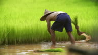 Asian farmer transplant rice seedlings in rice field,Farmer planting rice in the rainy season,Asian farmer is withdrawn seedling and kick soil flick of Before the grown in paddy field,Thailand.