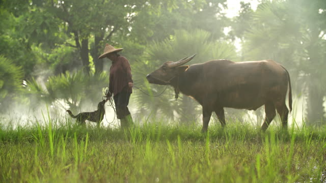 Asian farmers working with her dog and buffalo in the ricefield.
