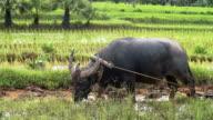 Asiatische Paddy Landwirt pflügen den Reis Felder die traditionelle Art und Weise von seinem Buffalo in Vorbereitung für die Regenzeit