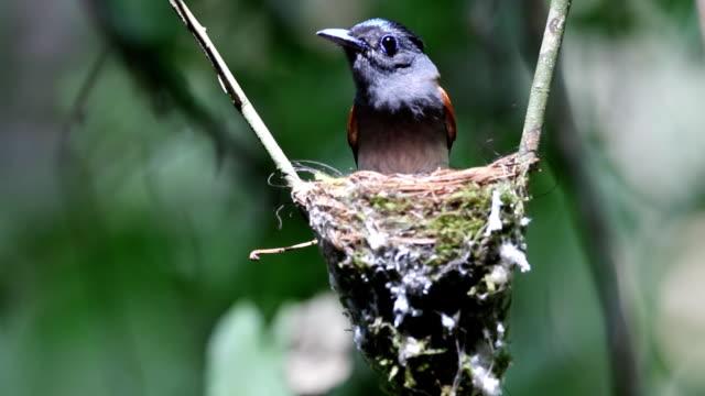 Asian Paradise Flycatcher incubating egg