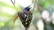 Asian Paradise Flycatcher incubating eggs