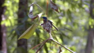 Asian Paradise Flycatcher incubating eggs