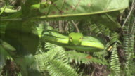 Asian vine snake (Ahaetulla prasina) in tree, Borneo