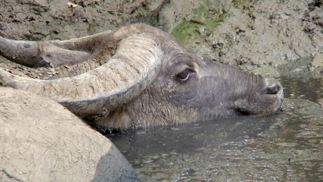CU Asian water buffalo in dirty water / Rinca Island,  Indonesia