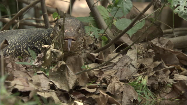 Asian water monitor flicks tongue out, Madras Crocodile Bank Trust, India Available in HD.
