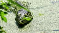 Asian Water Monitor Lizard (Varanus salvator salvator)