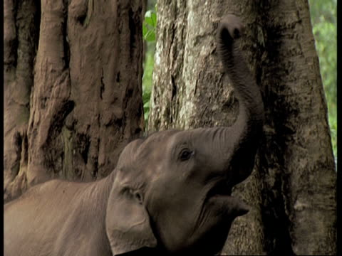 Asiatic Elephant, Elephas maximus, elephant calf with a stick in its trunk in front of a tree