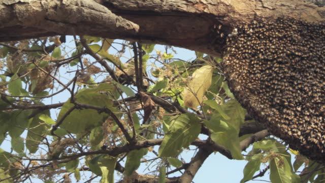 MS PAN Asiatic honey bees in nest (Apis cerana) / Madhya Pradesh, India