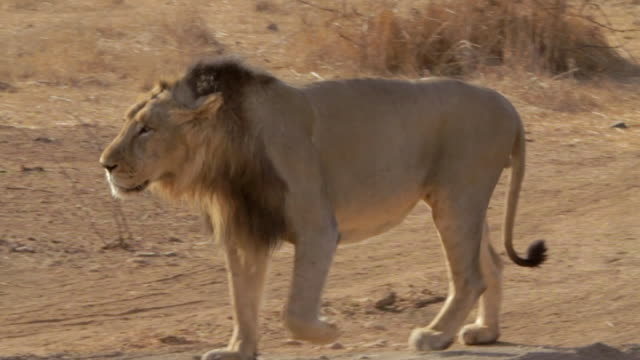 Asiatic lion walking