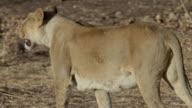 Asiatic lioness walking