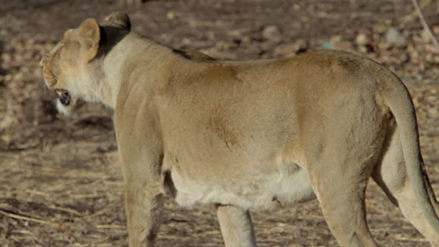 Asiatic lioness walking