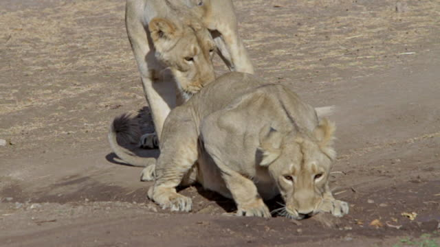 Asiatic lionesses playing