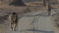 Asiatic lions walking in the savannah