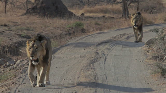 Asiatic lions walking in the savannah