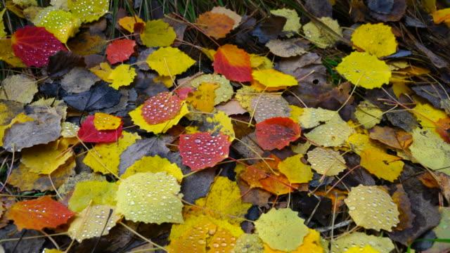 Aspen fallen leaves, La Jacetania, Huesca, Aragon, Spain, Europe