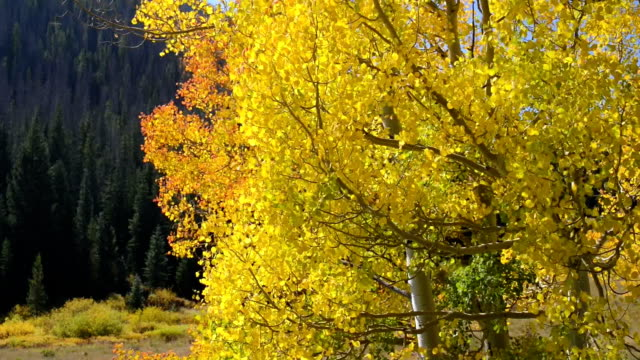 Aspen Leaves Quaking in the Wind