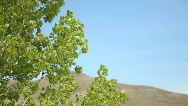 Aspen Tree Blowing in the Wind