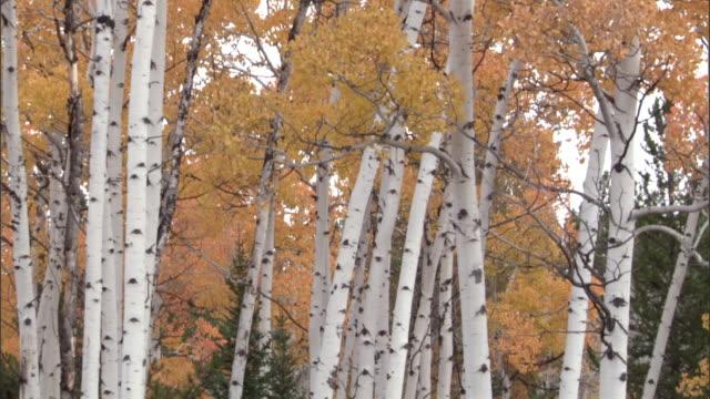 Aspen trees (Populus tremuloides) in Autumn colour, Yellowstone, USA