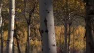 Aspen trees (Populus tremuloides) in Autumn, Yellowstone, USA