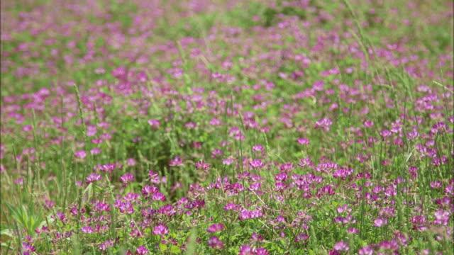 CU. Astragalus flowers grow in clusters