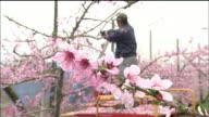 At flower-picking operation   Mediu_shot