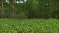 MS POV Atchafalaya Basin swamp moving thorugh vegetation / Atchafalaya Basin, Louisiana, United States