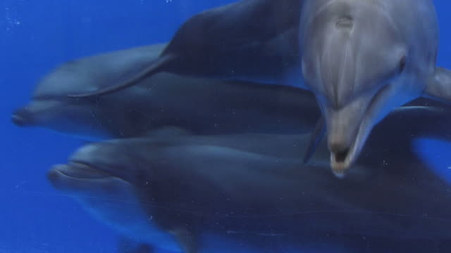 Atlantic bottlenose dolphins