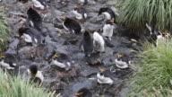 Atlantic Ocean, South Georgia Island, Cooper bay, Macaroni penguins nesting between the tussock grasses