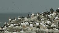Atlantic puffins (Fratercula arctica) in clifftop colony, Farne Islands, England