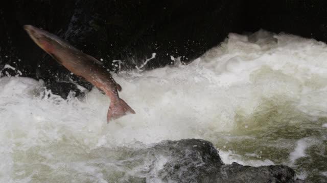 Atlantic salmon (Salmo salar) leaps up waterfall in river, Powys, Wales