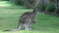 Australia Grampians kangaroo with joey by fence