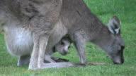 Australia Grampians kangaroo with joey