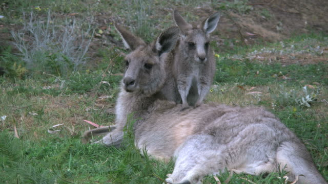 Australia kangaroos little one leans on mother