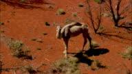 AERIAL ZO Australian feral camel in desert landscape, Darwin, Northern Territory, Australia